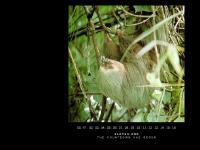 SLOTHS . ORG : a sleepy sloth